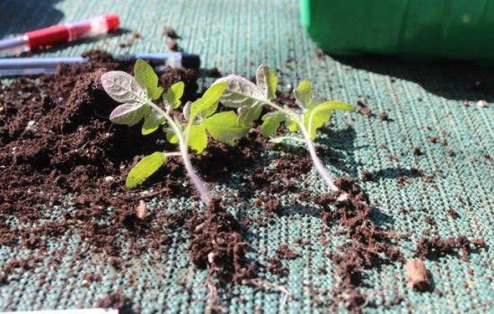 Китайский способ выращивания томатов: выращивание из семян, уход,