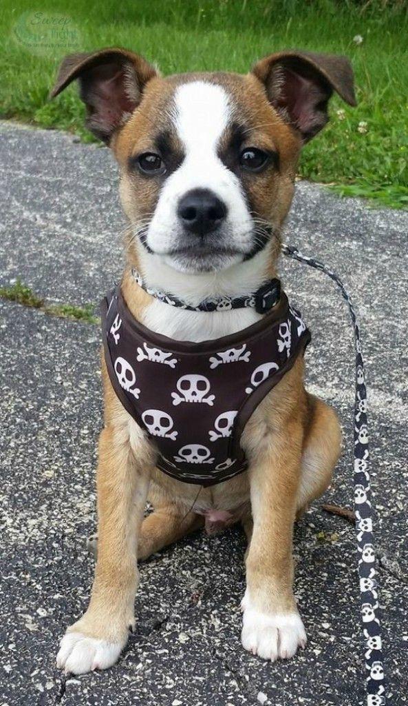 Foster Puppy Boston Terrier Beagle Mix Terrier Mix Puppy Mix