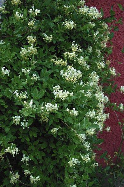 Klängväxter skapar hemtrevnad   Blomsterlandet.se
