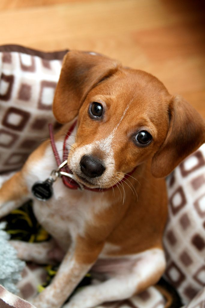 Jack A Bee Jack Russell X Beagle Looks A Lot Like My Puppy