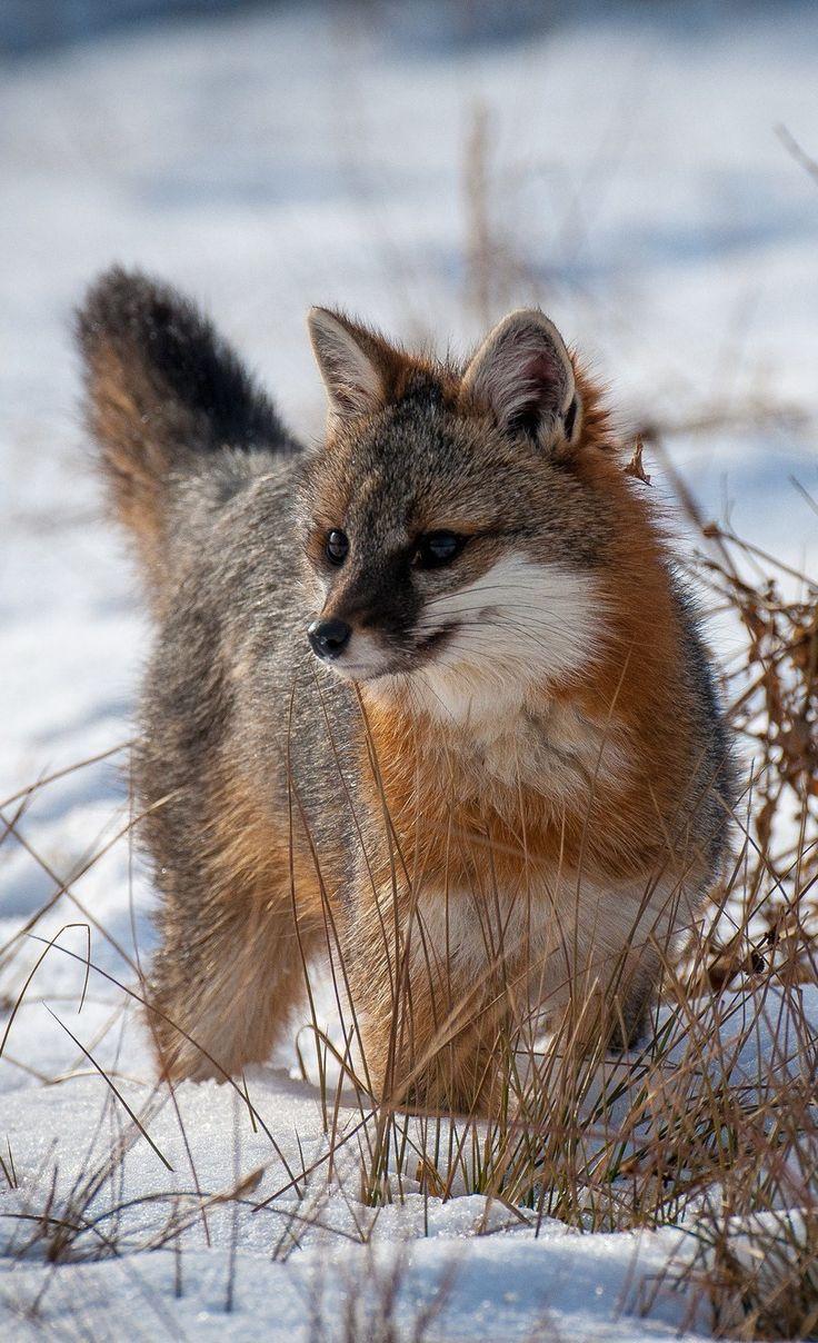The Grey Fox by Jacki Just-Pienta