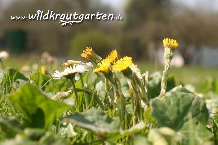 Pflanze des Monats: Der Huflattich
