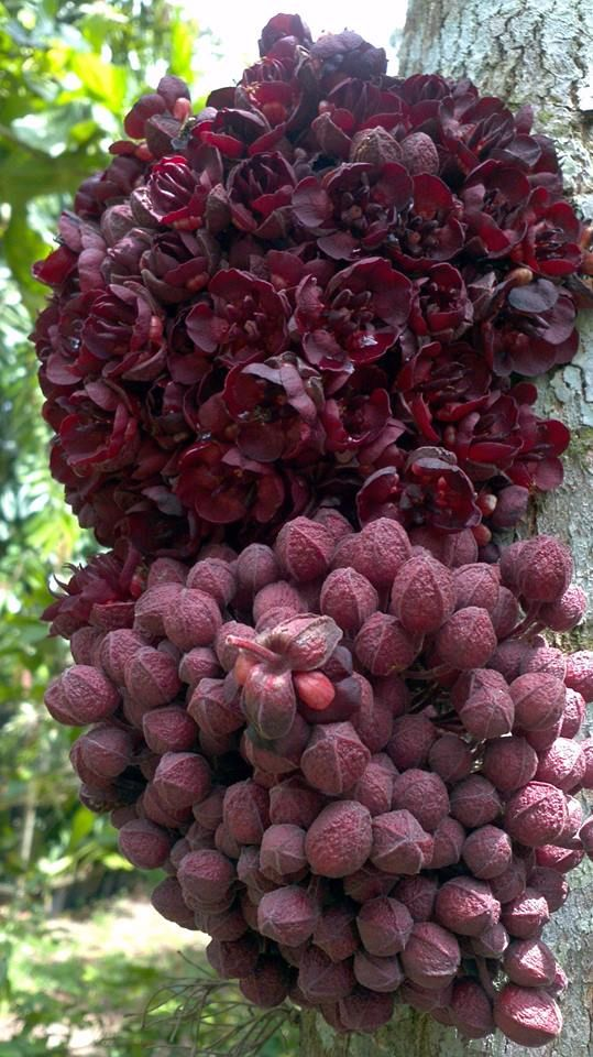 Theobroma speciosum - O cacauí também é conhecido como cacauhy, cacaoy, cacaoíllo, cacau-rana, cacao biaro, cupuyh, cacao sacha (Peru), ou chocolatillo (Bolívia). A polpa de seus frutos é consumida fresca e crua4 . Suas sementes servem para produzir um chocolate cuja qualidade é estimada como baixa, por uns, e excelente, por outros. A beleza de suas flores lhe dá valor ornamental; tem sido estudada para hibridização com o cacau e o cupuaçu, em particular para conseguir maior resistência ao…