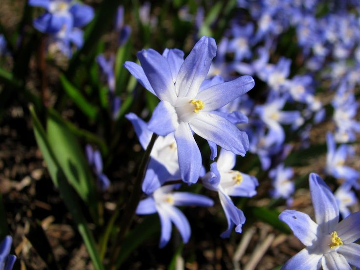 Glory of the snow bulbs are one of the first blooming plants to appear in spring. This article provides tips about growing these bulbs and caring for them in the landscape.