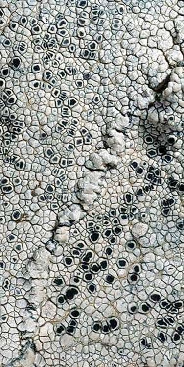 lichen on granitic rock, from the southern Sierra Nevada foothills, California