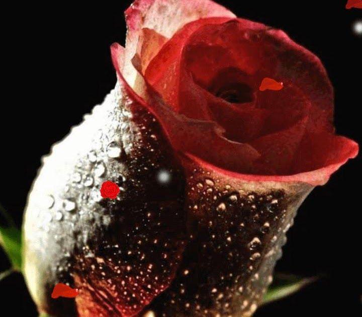 3d Rose Live Wallpaper Apk Free Download In 2020 Flowers Rose Background Flower Images