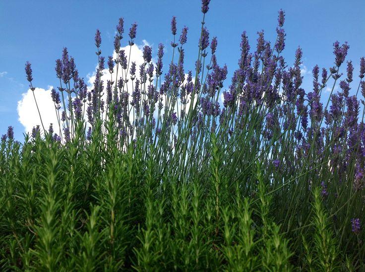 Lavenderous beauty