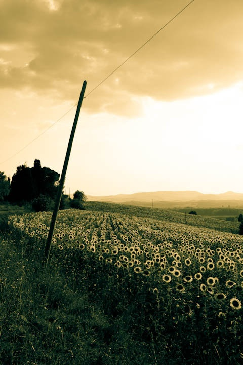 sunflowers, country