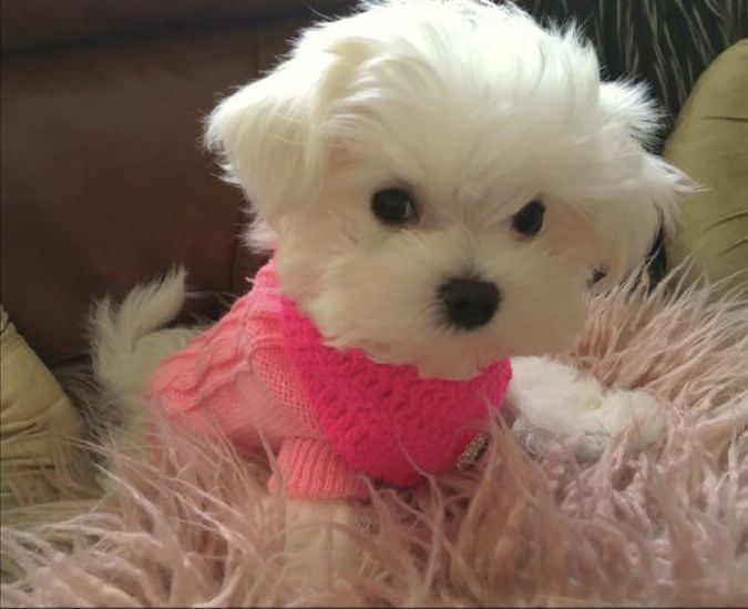 Maltese Maltese Dogs Maltese Puppy Teacup Puppies Maltese