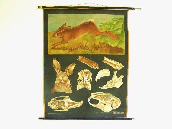 Vintage Rabbit Chart - Rabbit Poster - Mammal Poster - Animal Print - Jung Koch Quentell