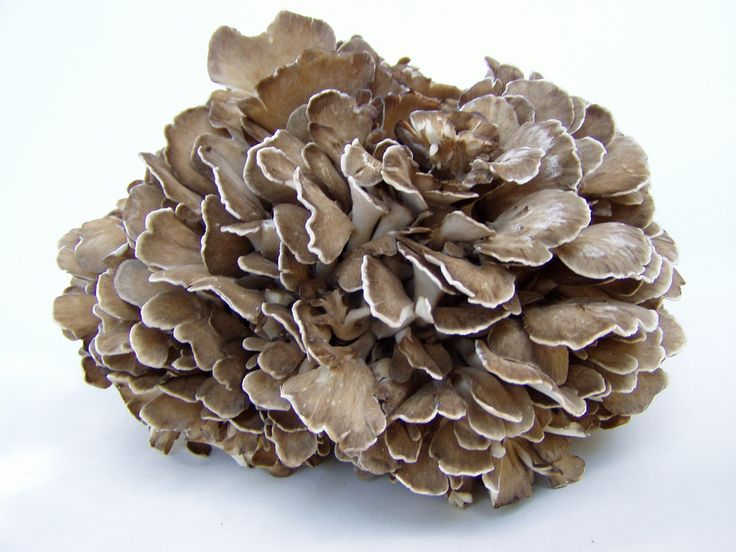 Hen of the Woods grow at the base of oak trees. These mushrooms are beloved by the Japanese as maitake; they also happen to be my personal favorite. They grow in large, dull brown clumps (as a polypore or bracket fungus) that look like the back of a brown hen's ruffled feathers. The mushroom caps are attached to each other by short white stems. These mushrooms can grow to be several pounds and more than 2 feet wide. On the east coast they appear in September and October.