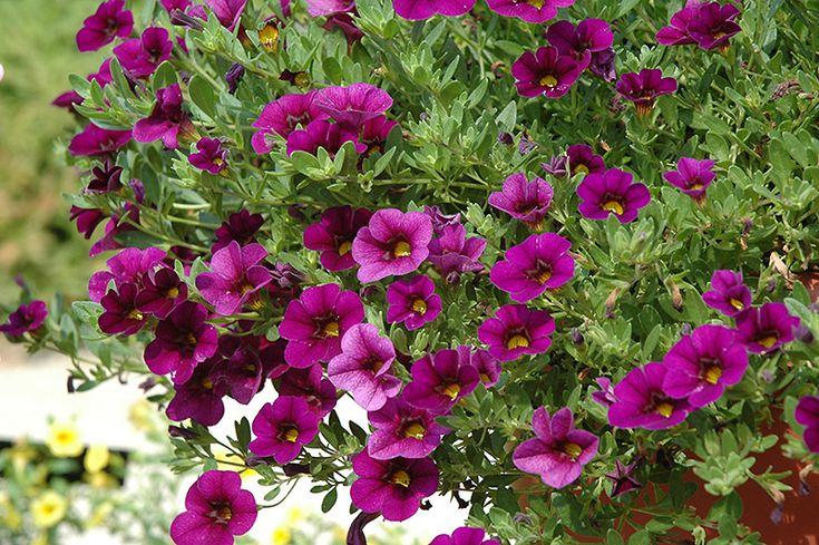 1000 images about plants i want on pinterest sun deer - Calibrachoa perenne ...