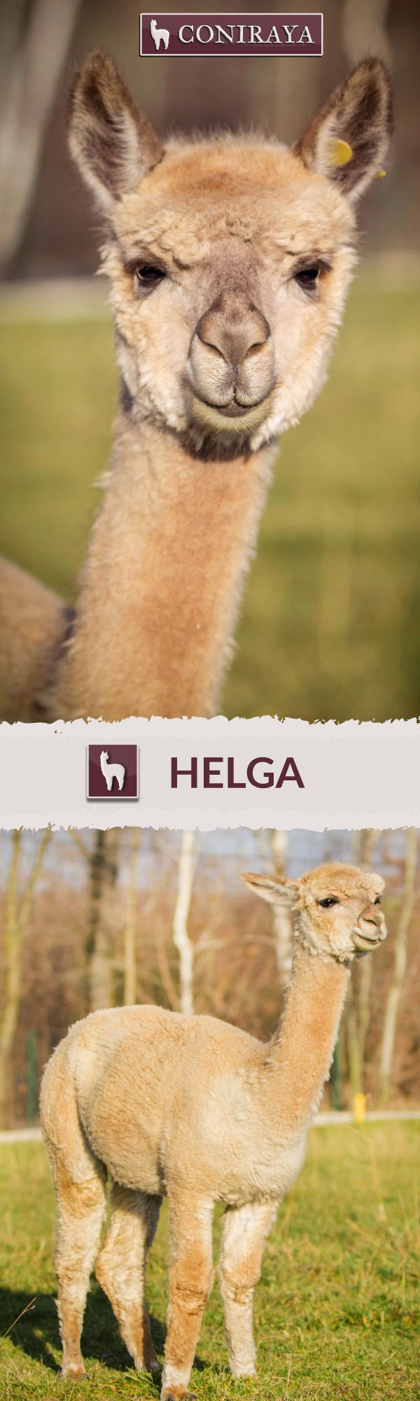 Meet one of our sweet Coniraya alpaca girls - Helga . She was born in 2009. Her fiber is in color : FAWN. For more informations check her profile on our website.