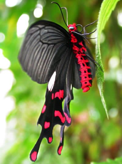 Polyeuctes Swallowtail: Beautiful Butterflies, Insects Black, Swallowtail Butterflies, Polyeuct Swallowtail, Colors Schemes, Red And Black Butterflies, Tropical Insects, Red Swallowtail, Red Black