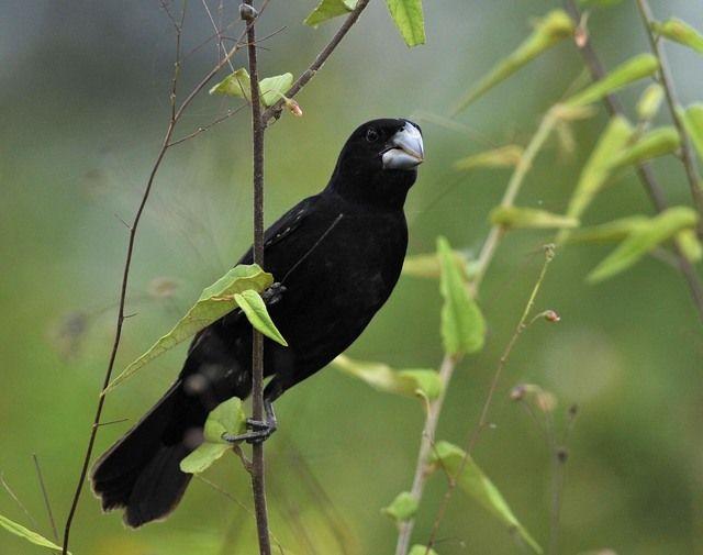 Foto bicudo (Sporophila maximiliani) por Marcio Repenning   Wiki Aves - A Enciclopédia das Aves do Brasil