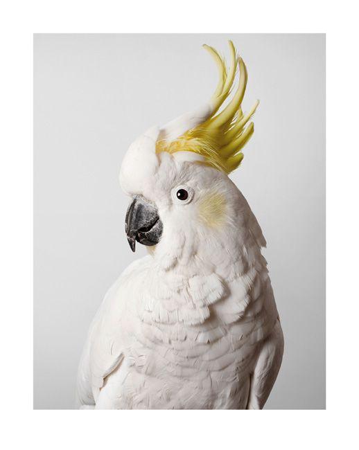 © Leila Jeffreys ~ 'Slim' Sulphur-Crested Cockatoo ~ 2012 photograph on archival fibre based cotton rag paper at Olsen Irwin Gallery Sydney Australia