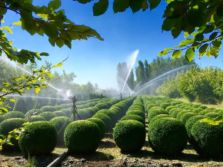 """Irrigazione di un campo di Buxus sempervirens """"Arborescens"""" nel nostro vivaio di Comacchio (Ferrara) - Bosso   Boxwood   Buchsbaum   Buksboom"""