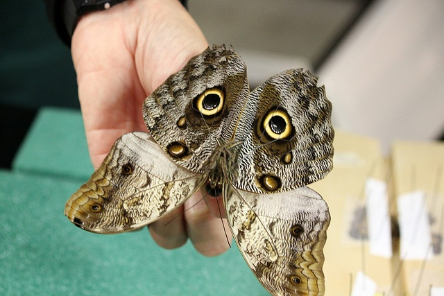 71 Best Owl Butterfly Images On Pinterest In Pictures