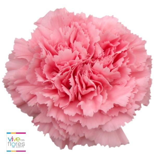Recordación y ternura es lo que inspiran nuestros claveles rosados claros. Transmite esta y otras emociones con Vivelasflores.com