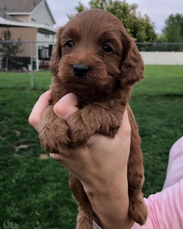 Tiny Buffalo Bill Male F2b Teacup Check Out All Of Our Available Puppies On Our Website Located In The Descriptions Of Our Pag Labradoodle Puppies Doodle Dog