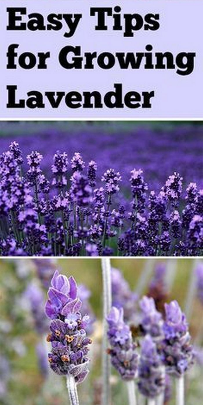 Things You Need to Know About Lavender, Varieties Suitable For Your Location, And How to Grow Them