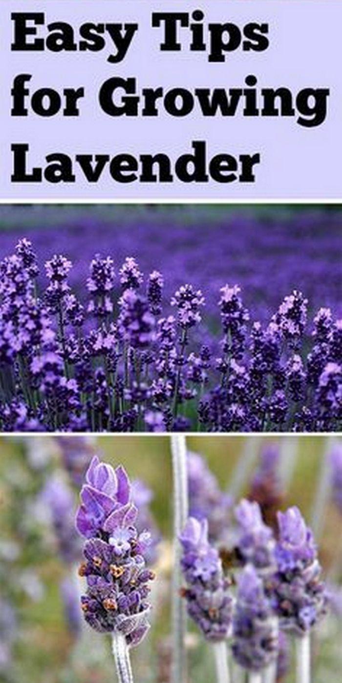 25 best ideas about lavender varieties on pinterest types of lavender plants lavender garden. Black Bedroom Furniture Sets. Home Design Ideas