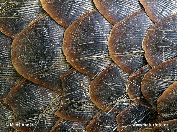 Up close pangolin scales.  They're made of chitin, like fingernails.  Pangolins have their own order and genus.