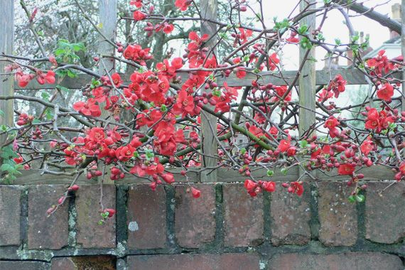 If you've got a black thumb, flowering quince (Chaenomeles) is a good choice. Virtually indestructible, flowering quince tolerates climate extremes and neglect. This deciduous thorny shrub can stretch up to 8 feet wide, makes great natural fencing, and puts on a big show of blossoms in winter. Plant in spring or fall.