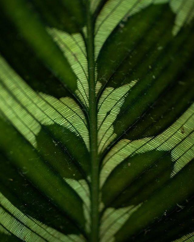 Love for nature textures Calatea . #nature #naturetexture #naturephotography #naturelovers #lettus #texture #texturephotography #green #greenphoto #life