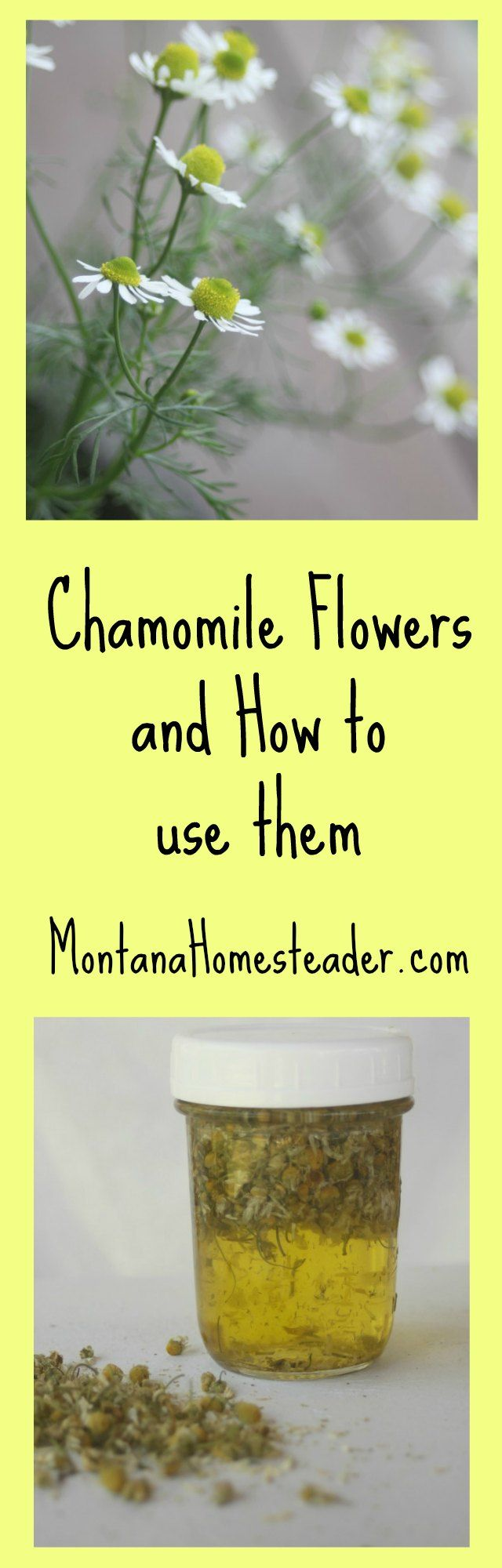 Chamomile Flowers and how to use them for drying, tea, chamomile oil for salves and lotions, and healing compress #NaturallyKind