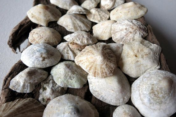 22pcs Natural Greek Limpet by MrsBeachComber on Etsy