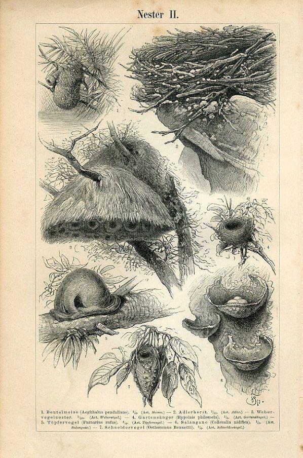 Bird Nests - 1895