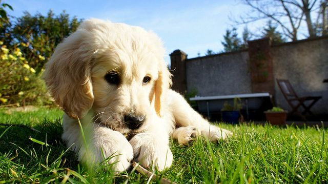 Bailey, golden retriever puppy