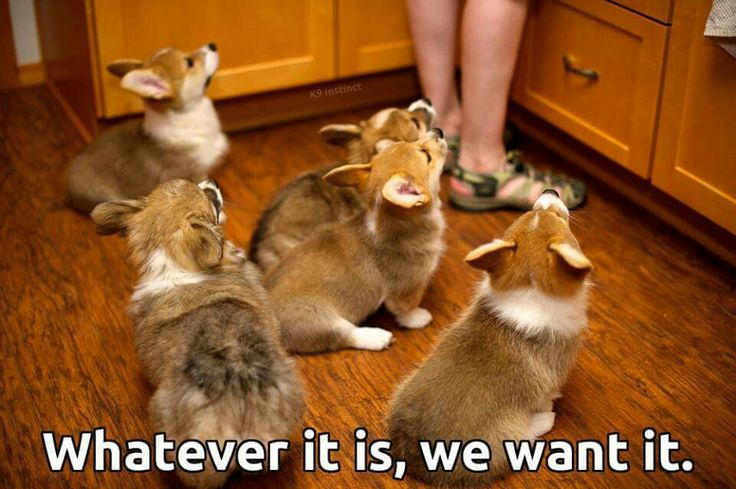 5 Things You Didn't Know About Pembroke Welsh Corgis