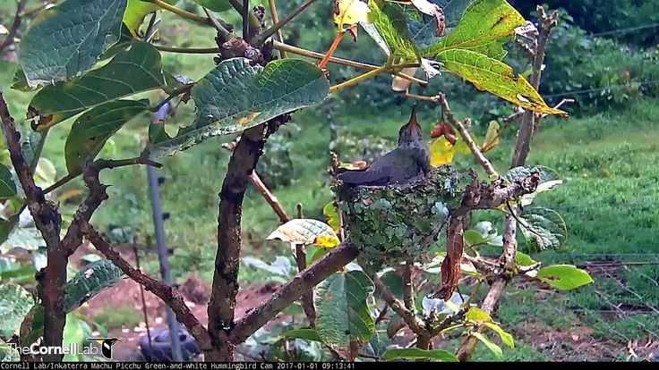 Both Green-and-white Hummingbird nestlings fledged on New Year's Day, 2017, from their nest next to the Andean Bear Rescue Center at Machu Picchu Inkaterra. ...