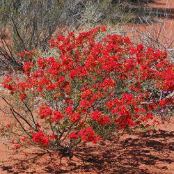 """Habit photograph of Pileanthus vernicosus- """"Copper Cups"""""""