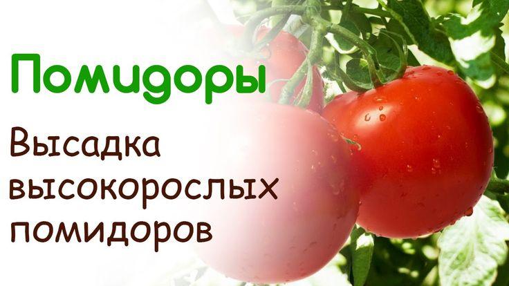 Высадка высокорослых помидоров в открытый грунт. Уход за помидорами в от...