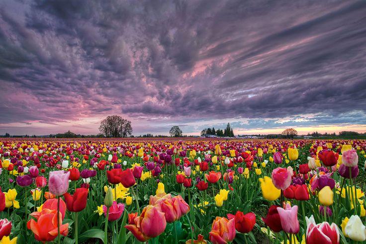 pays bas champs de tulipes colores 81   15 photos dincroyables champs de tulipes colorés   tulipe photo image hollande fleur couleur champ