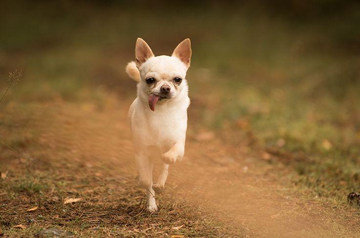 Dog photography. Poses. White Chihuahua. Forest. Swedish nature. By Swedish photographer Maria Lindberg.