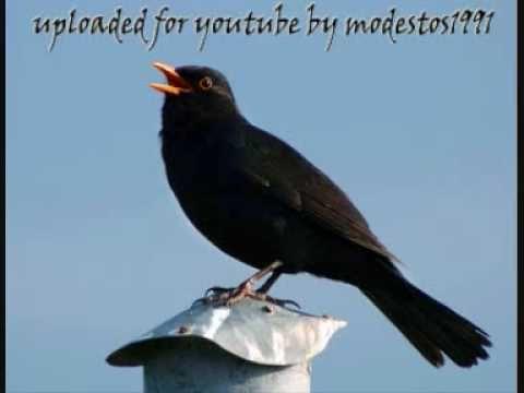 Blackbird Singing #3 - Mr Blackbird sings to his friends Κότσυφας