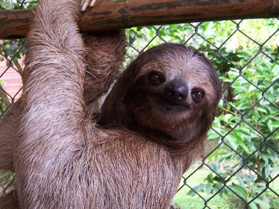 Someday I will go here and maybe volunteer. You have to volunteer for at least 2 weeks at the Aviarios del Caribe Sloth Sanctuary in Costa Rica but I think it would be amazing.