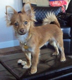 pomeranian chihuahua mix dog best 25 pomeranian chihuahua ideas on pinterest 3136