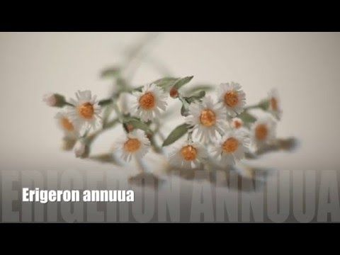 [EASY Tutorial]Wild flower_Erigeron annuus[Crepe paper flower] - YouTube