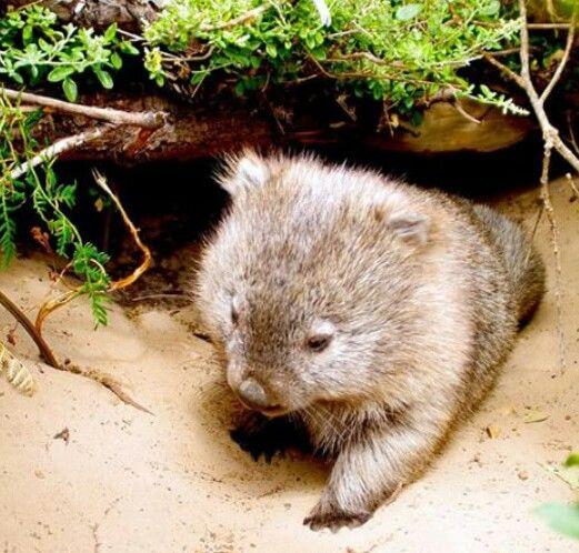 Baby Wombat: Cute Wombat, Baby Wombat