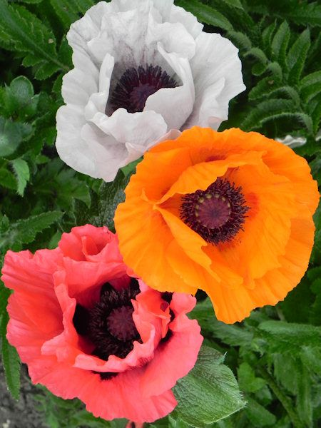 Oriental poppies - gorgeous!