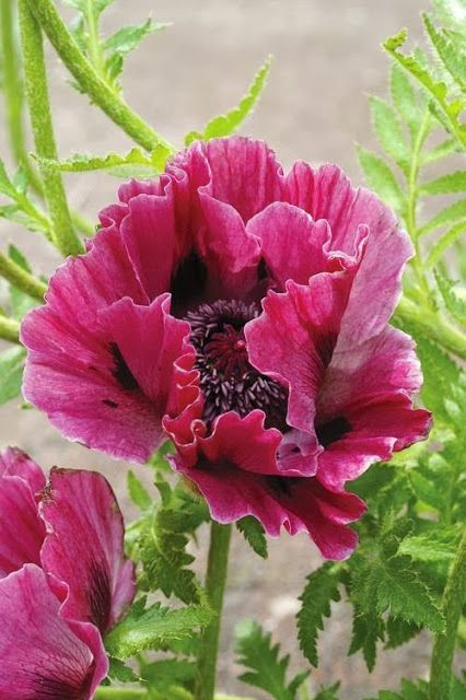 "Harlem Oriental Poppy (Papaver orientale 'Harlem') perennial, Partial Shade/Full Sun, Zone 3 - 9, 18 - 24"" tall x 24 - 30"" wide, spring flowers. Large burgundy red flowers on long sturdy stems. Poppies go summer dormant until the weather cools again in early fall, so be sure to plant with a selection of summer flowering perennials to camouflage the spot until the foliage reappears. This poppy has been known to rebloom in early fall in ideal conditions."