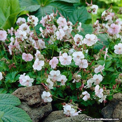 Pink Geranium Biokovo, Geranium cantabrigiense, Crane's Bill