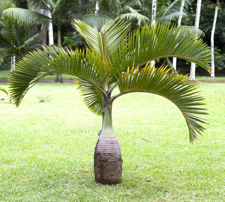Bottle Palm (Hyophorbe lagenicaulis) This dwarf palm tree, known as the Bottle Palm, has a wonderful bulbous gray trunk and green upper stem. Palm leaves add a tropical feel to any growing space.