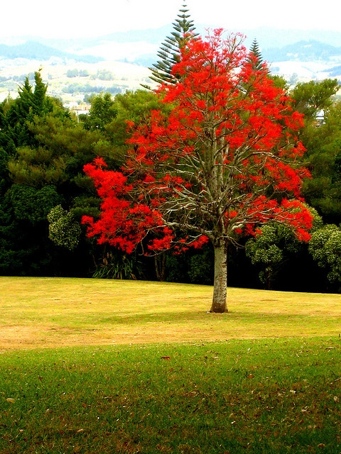 Illawarra Flame #tree