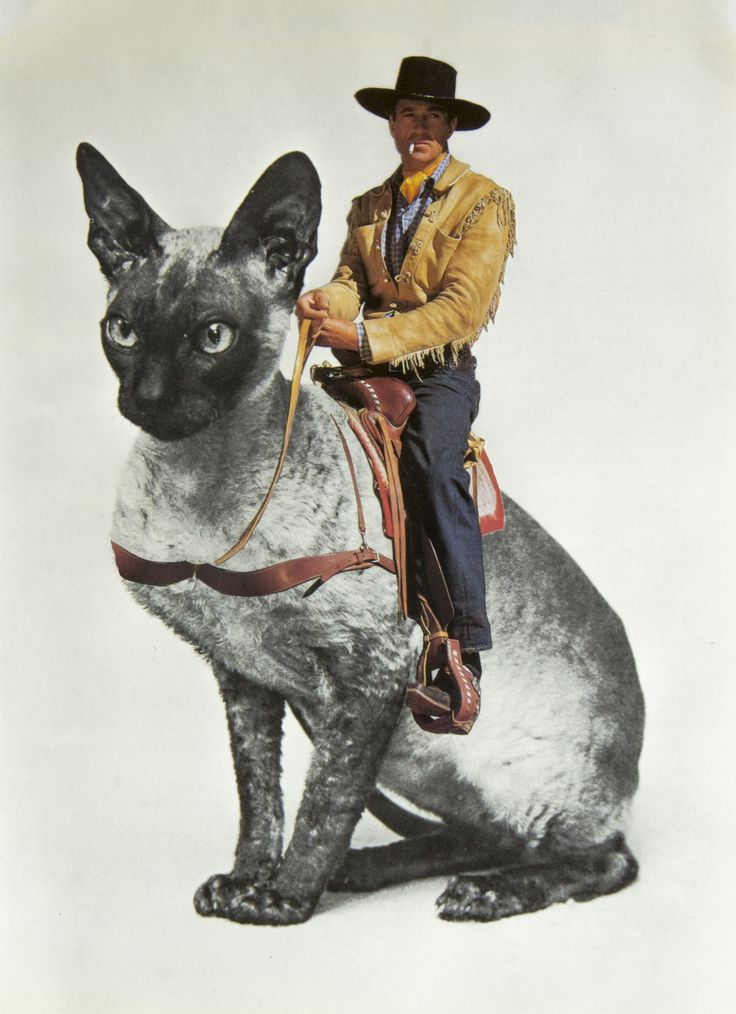 Guillaume Chiron {cowboy riding siamese cat #surreal}